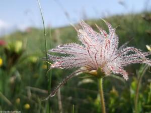 Pulsatilla alpina subsp. apiifolia (frutto)