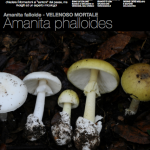 Infografica su Amanita phalloides realizzata da Nicolò Oppicelli