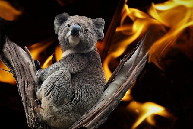 koala su un albero che brucia è il simbolo degli incendi australi