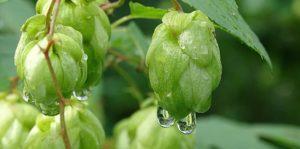 Fiori del luppolo, contengono sostanze amare e aromatiche che donano sapori floreali e fruttati. Un must tra gli ingredienti della birra