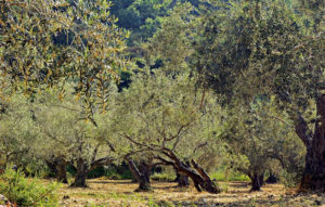 In Puglia sono state delimitate una zona di contenimento e una zona cuscinetto a protezione della più settentrionale zona indenne.