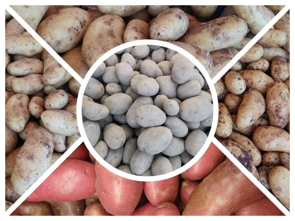 Al mondo esistono cinquemila specie di patate. Immaginate quante sono le ricette con patate!