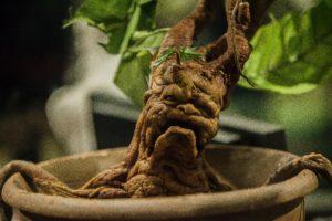 La radice di mandragora, tra la magia di Harry Potter e gli studi di Teofrasto