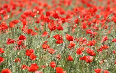 Mille papaveri rossi – Dalle Fiandre a La guerra di Piero, la storia del fiore del partigiano